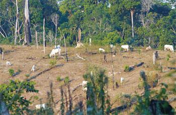 Bois pastando em áreas desmatadas, cena que tem sido comum nas últimas décadas