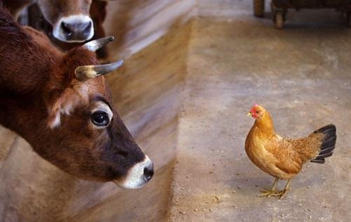 Vaca e galinha se olham em fazenda nos EUA (Foto: Scott Mason/The Winchester Star/AP)