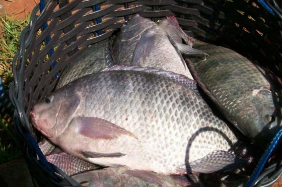 Peixes mortos em prol do consumo de carne