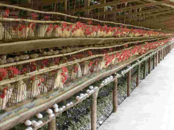 galinhas aprisionadas para produção de ovos