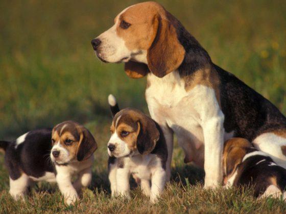 Cães beagle filhotes