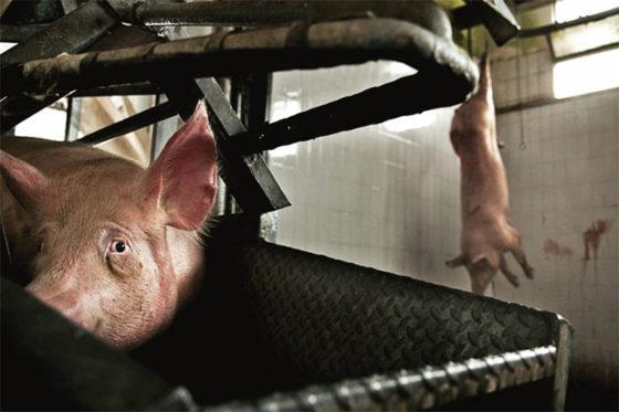 porcos no matadouro