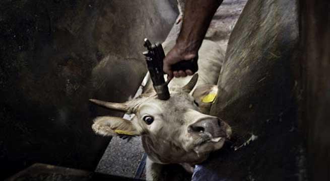Abate pseudo-humanitário de boi