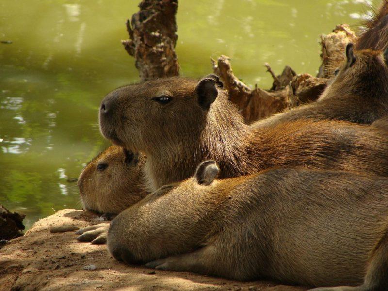 Capivaras na Amazônia, ao lado de um rio