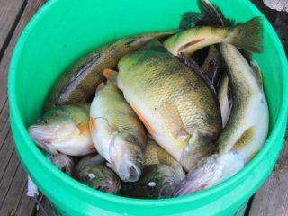 Peixes morrendo num balde. Sofrimento de animais