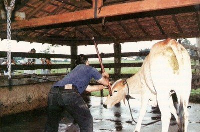 Atordoamento de animais para abate: um exemplo de maus tratos contra animais dos quais a pecuária não prescinde