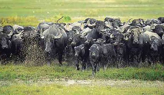 """Se a pecuária acabar, os animais """"de criação"""" serão soltos na natureza, feito os búfalos tornados selvagens da região Norte?"""